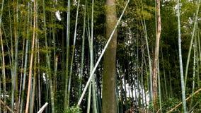 Niecka przez bambusowych drzewa zdjęcie wideo