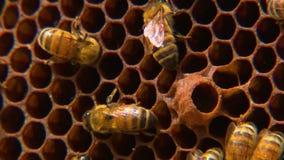 Niecka przez honeycomb wypełniającego z pszczołami zdjęcie wideo