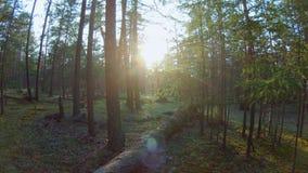 Niecka w lesie jaskrawy słońce błyszczy przez drzew zbiory