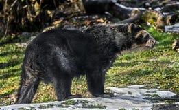 niedźwiedź spectacled zdjęcia stock