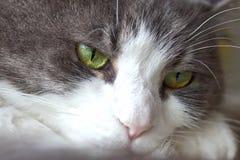 Niedźwięczny Przyglądający kot Zdjęcie Stock