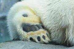 Niedźwiadkowa łapa fotografia stock