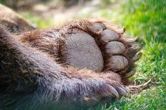 Niedźwiadkowa łapa 1 zdjęcie royalty free