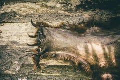 Niedźwiadkowa łapa drapa zwierzęcego łowieckiego trofeum Fotografia Stock