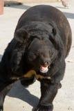 niedźwiadkowa śmieszna himalajska poza zdjęcie royalty free