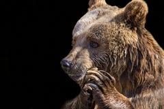 Niedźwiadkowa głowa w górę zdjęcie stock