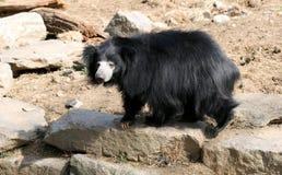 niedźwiadkowa opieszałość Obrazy Royalty Free