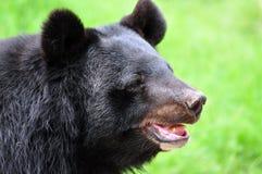 niedźwiadkowa opieszałość Zdjęcie Stock