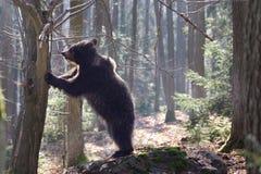 Niedźwiadkowa pozycja Obrazy Stock