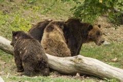 Niedźwiadkowa rodzina Obraz Royalty Free