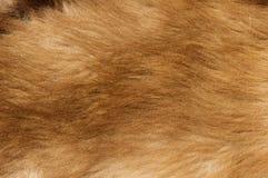 Niedźwiadkowego lisiątka futerko Obrazy Royalty Free