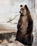 niedźwiadkowego lisiątka grizzly Zdjęcia Stock