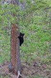 niedźwiadkowego lisiątka Moscow biegunowy dziki zoo Zdjęcie Stock