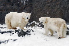 niedźwiadkowego maritimus biegunowy ursus fotografia stock