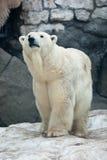 niedźwiadkowego maritimus biegunowy ursus obrazy royalty free