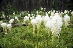 Niedźwiadkowej trawy kwitnienie fotografia stock
