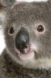 niedźwiadkowej zamkniętej koali męski portret męski Obraz Royalty Free