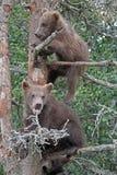 niedźwiadkowi lisiątka Zdjęcia Royalty Free