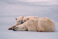 niedźwiadkowi lisiątka jej biegunowy roczniak Zdjęcie Stock