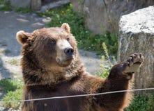 niedźwiadkowi rozrywki łapy goście czekają fala powitań zoo Zdjęcia Stock