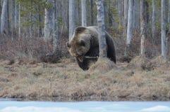 Niedźwiadkowy łasowanie fotografia stock