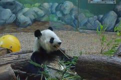 Niedźwiadkowy łasowanie bambus obraz stock