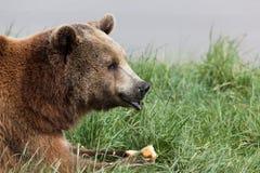Niedźwiadkowy łasowanie kantalup zdjęcia stock