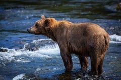 niedźwiadkowy alaskan brąz Zdjęcie Royalty Free