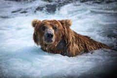 niedźwiadkowy alaskan brąz Fotografia Royalty Free
