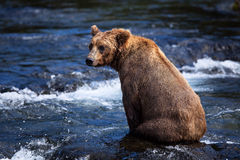 niedźwiadkowy alaskan brąz Obrazy Stock