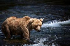 niedźwiadkowy alaskan brąz Zdjęcia Royalty Free