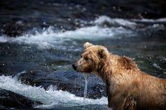 niedźwiadkowy alaskan brąz Zdjęcia Stock