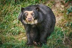 niedźwiadkowy Azjata czerń Zdjęcia Stock