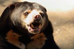 niedźwiadkowy Azjata czerń Obrazy Royalty Free