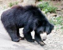 niedźwiadkowy Azjata czerń Fotografia Royalty Free