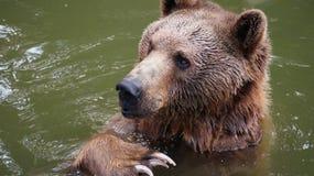 Niedźwiadkowy bawić się w wodzie przy zoo Obrazy Stock