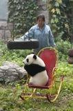 niedźwiadkowy Beijing porcelanowy lisiątka gigantycznej pandy zoo zookeeper Fotografia Royalty Free