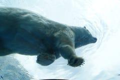 niedźwiadkowy biegunowy zdjęcia stock