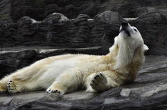 niedźwiadkowy biegunowy zdjęcie royalty free