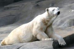 niedźwiadkowy biegunowy Fotografia Royalty Free