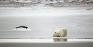 niedźwiadkowy biegunowy odpoczynek obrazy royalty free