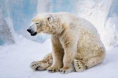 niedźwiadkowy biegunowy zmęczony ziewanie obrazy royalty free