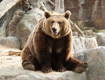 niedźwiadkowy brąz Obraz Stock