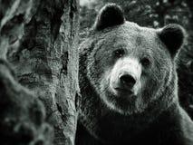 niedźwiadkowy brąz Obrazy Royalty Free