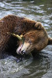 niedźwiadkowy brąz Obrazy Stock