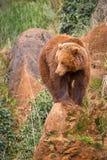 niedźwiadkowy brąz Obraz Royalty Free