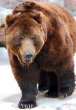 niedźwiadkowy brąz Zdjęcie Stock