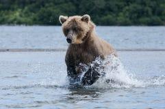 Niedźwiadkowy cyzelatorstwo łosoś Zdjęcia Royalty Free
