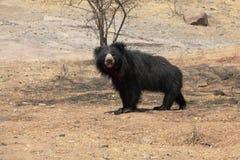 niedźwiadkowy czarny himalajski obraz royalty free