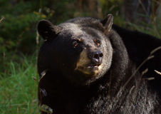 niedźwiadkowy czarny portret Zdjęcia Royalty Free